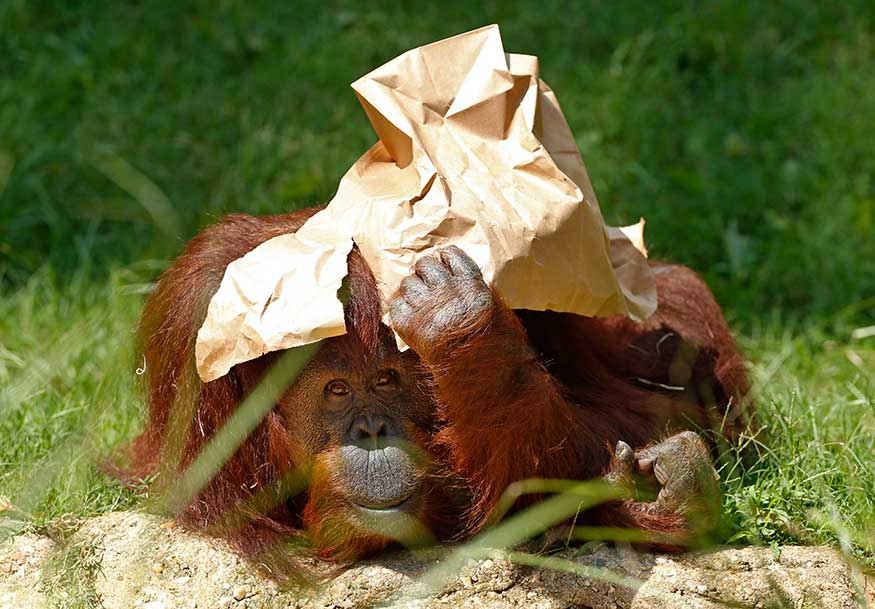 An orangutan holds a paper bag over its head under the hot sun.