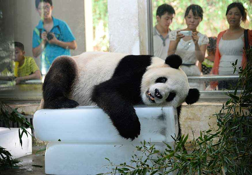A giant panda lies on blocks of ice to cool off from the summer heat. (
