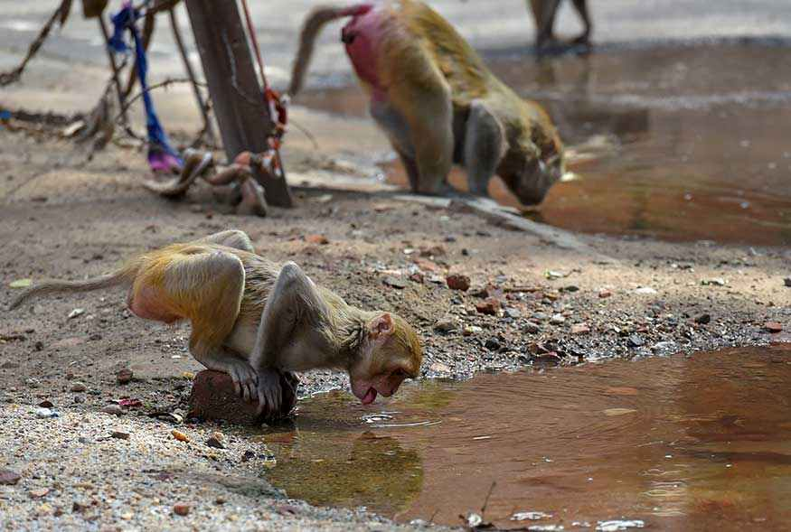 Monkeys quench their thirst during a spell of a heat wave in a village, on the outskirts of New Delhi.
