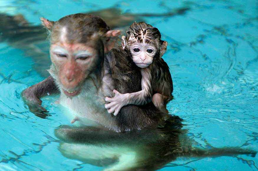 A baby monkey holds on to its mother in a swimming pool to escape the summer heat.