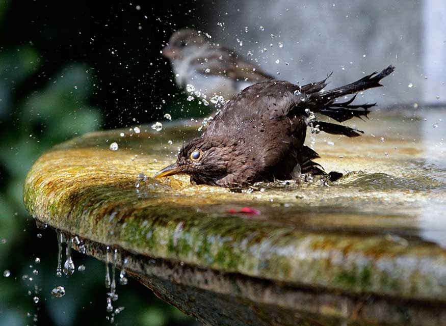 A bird splashes in the water of a fountain to cool off on a hot summer day.