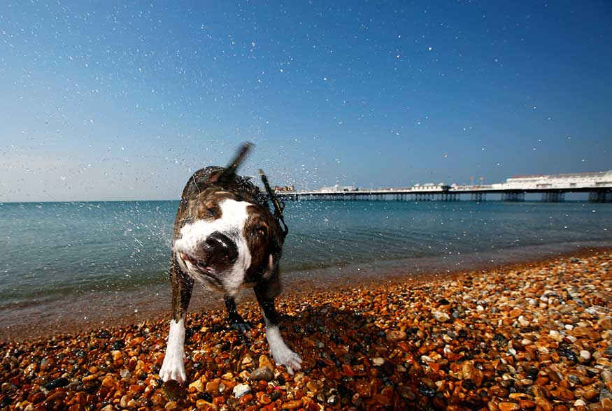 A Staffordshire bull terrier cross after a swim in the sea during the hot summer day.