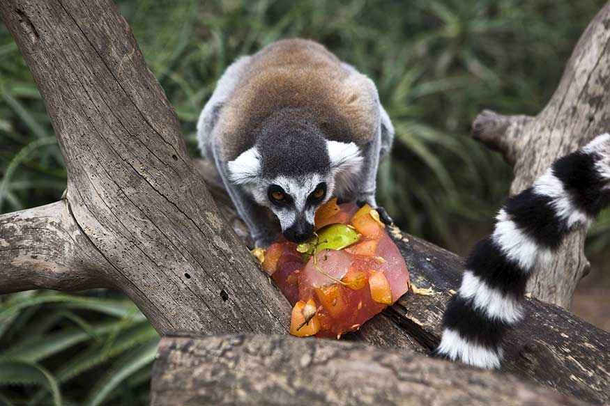 A ring-tailed lemur eats frozen fruit to cool down.