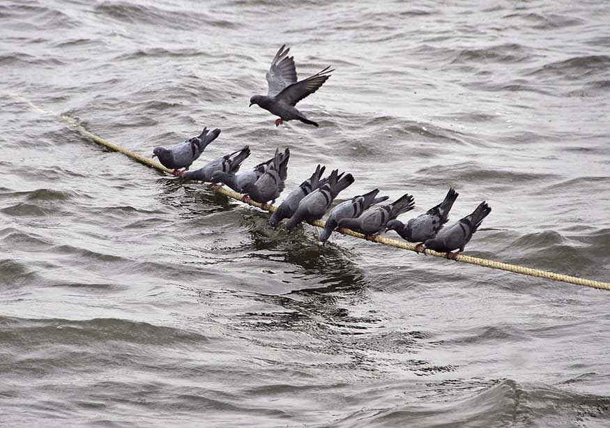 Pigeons drink water as they sit on a rope in a lake on a hot summer morning.