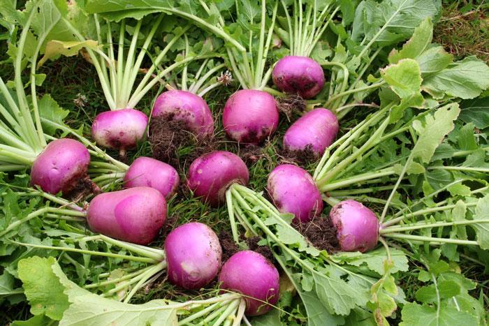 12. Turnips
