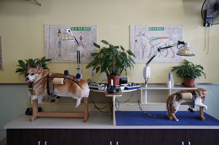 A dog and a cat receive treatment at Shanghai TCM (Traditional Chinese Medicine) Neurology and Acupuncture Animal Health Center, which specialises in acupuncture and moxibustion treatment for animals, in Shanghai, China.