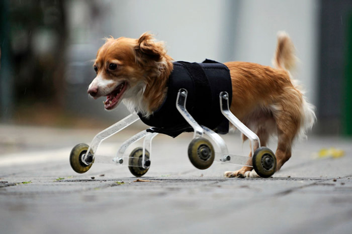 Hoppa, a four-year-old mixed breed dog born without front legs, uses a prosthetic device to walk outside in the central Israeli city of Tel Aviv.