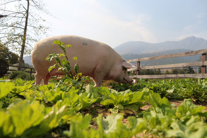 Pigcasso, a rescued pig, is seen in an organic vegetable garden after painting at the Farm Sanctuary in Franschhoek, outside Cape Town, South Africa.