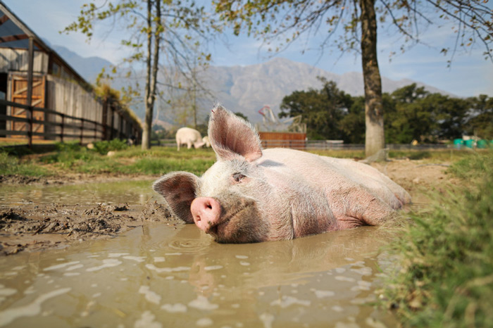 Pigcasso, a rescued pig, cools down in a mud bath after painting at the Farm Sanctuary in Franschhoek, outside Cape Town, South Africa.