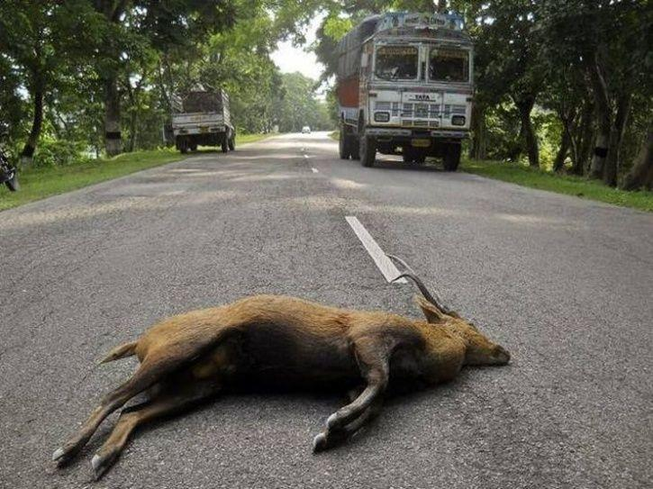 8. Nearly a dozen animals were killed on the NH-37 while trying to flee the submerged Kaziranga.