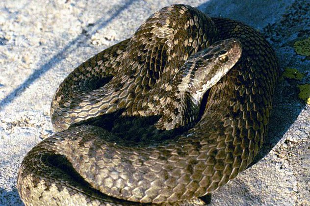 Darevsky's Viper