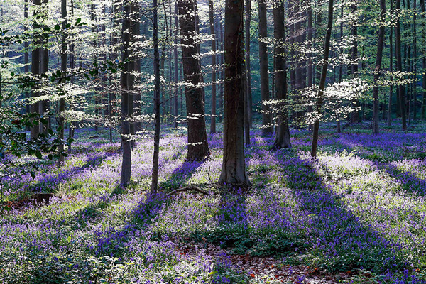 A serene view of Forest Hallerbos, also known as the