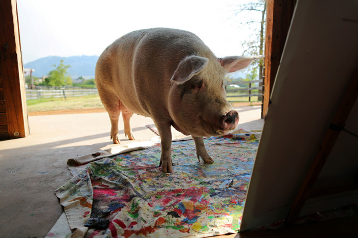 Pigcasso looks at a canvas after painting at the Farm Sanctuary in Franschhoek, outside Cape Town.
