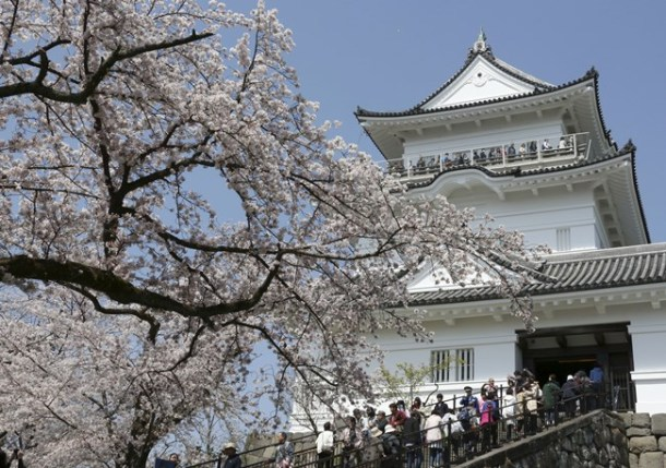 People enjoy viewing of cherry blossoms from Odawara Castle, a landmark in the city of Odawara, southwest of Tokyo.