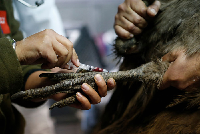 A veterinarian takes a blood sample from an Andean Condor, one of the world