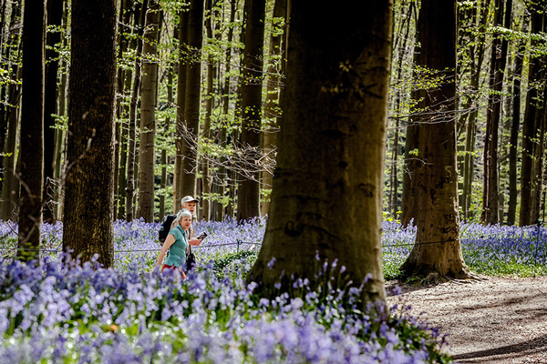 A couple walks in the Hallerbos as bluebells bloom.