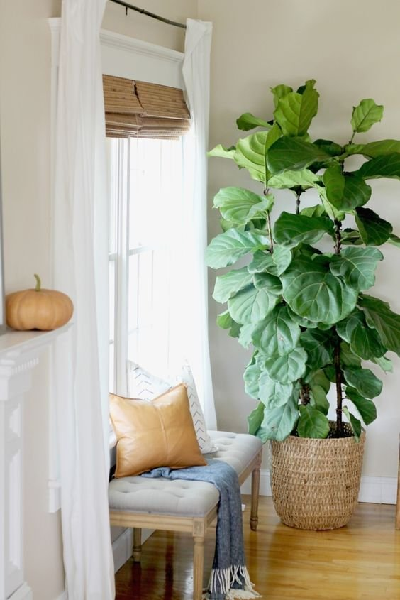 7. Fiddle Leaf Fig